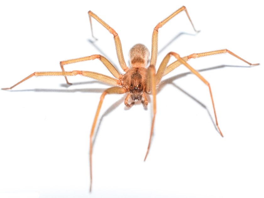 brown-recluse-head-on